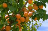 Apricots.on.000.tree