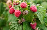 raspberries-growing
