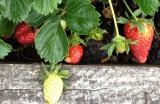 Strawberries.growing.forblog