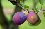 Plums.on.tree.002