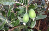 Feijoas.growing.000
