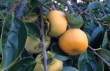 Persimmons.on.tree.2