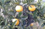 oranges.on.tree