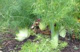 Fennel.growing