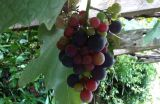 Grapes.growing