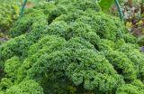 Kale.growing.1