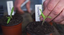 HOW TO TRANSPLANT TOMATO SEEDLINGS