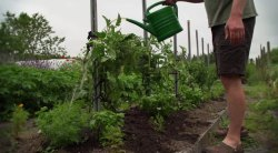 HOW TO FEED, MULCH AND NET TOMATO PLANTS