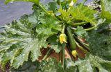 zucchini-growing