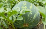 Watermelon.growing